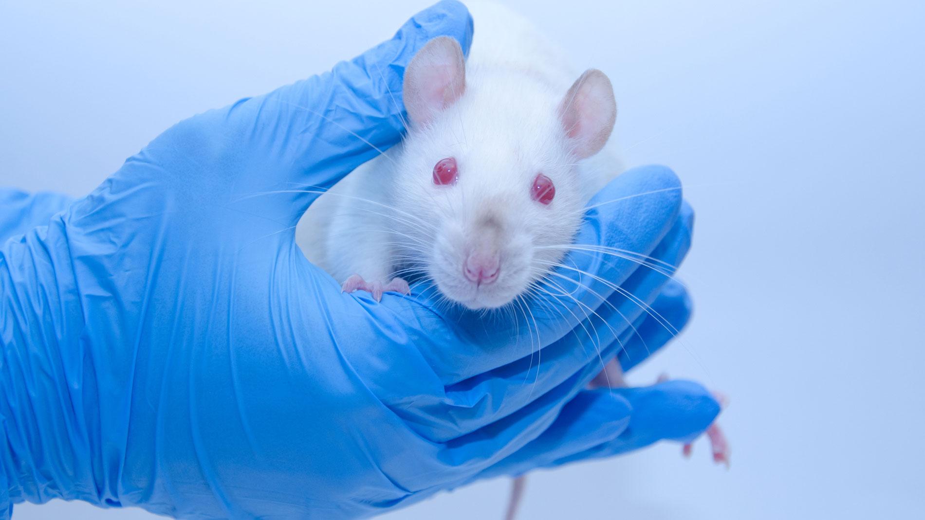 Resultado de imagen de El equipo de Barbacid logra eliminar un tumor de páncreas en ratones