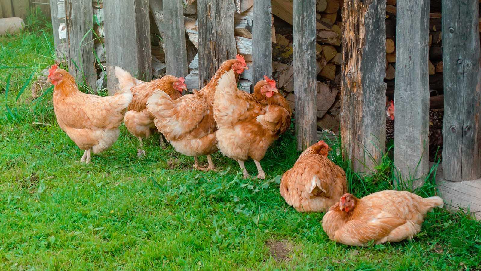 Nel Cañedo es un pastor asturiano que se queja de la decisión municipal de clausurar un gallinero porque el ruido molesta a los clientes de un hotel rural de Soto de Cangas. Su protesta se ha hecho viral y ha sacado a la luz la polémica decisión.