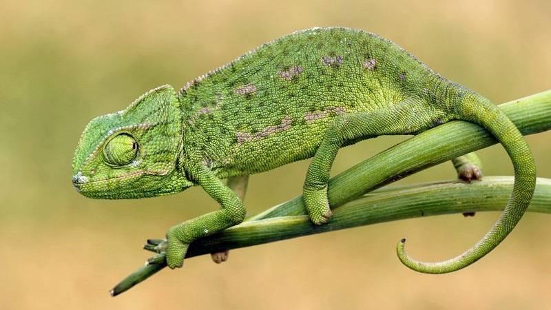 Órbita Laika - Curiosidades científicas - Camaleones y pulpos imitadores