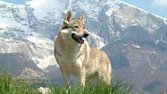La Mañana - En un mundo de perros: El lobo checo