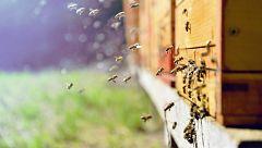 Factores como pesticidas o la avispa asiática obligan a las abejas a instalarse en entornos urbanos