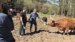 Aquí la tierra - Aragüena y 13 razas de vacas