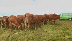 Aquí la tierra - Las vacas limusinas de Cóbreces
