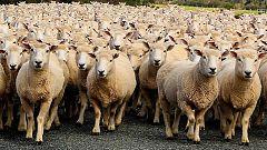 Las ovejas se escolarizan en la escuela rural