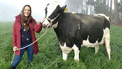 Aquí la tierra - ¡Estas vacas comen lino!
