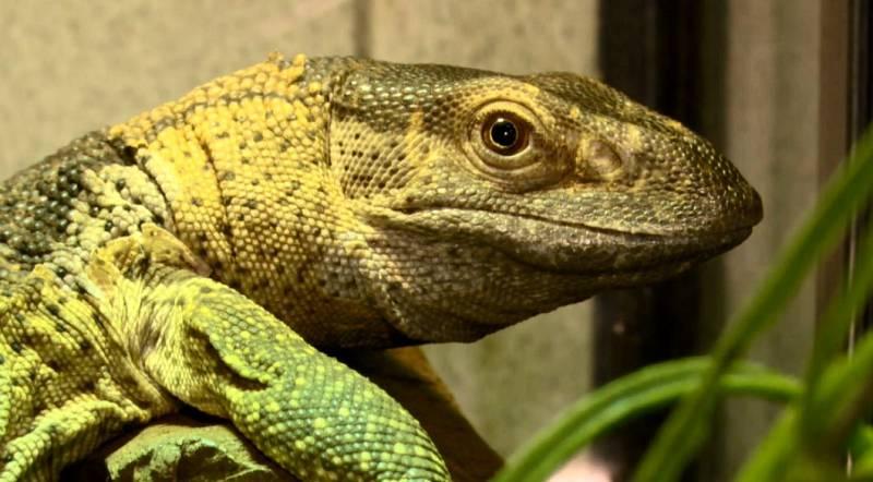 La afición por los reptiles como mascota está viviendo un boom en España, esta semana en Repor: Reptilianos