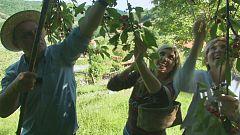 Aquí la tierra - Las cerezas de la Ribeira Sacra