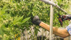 Comando Actualidad - Marihuana