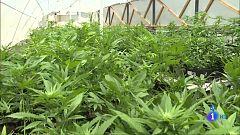 Comando Actualidad - Marihuana - Dentro de una plantación