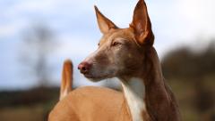 En un mundo de perros: El Podenco