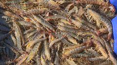 Aquí la tierra - Langostinos de Lo Pagán, en el Mar Menor