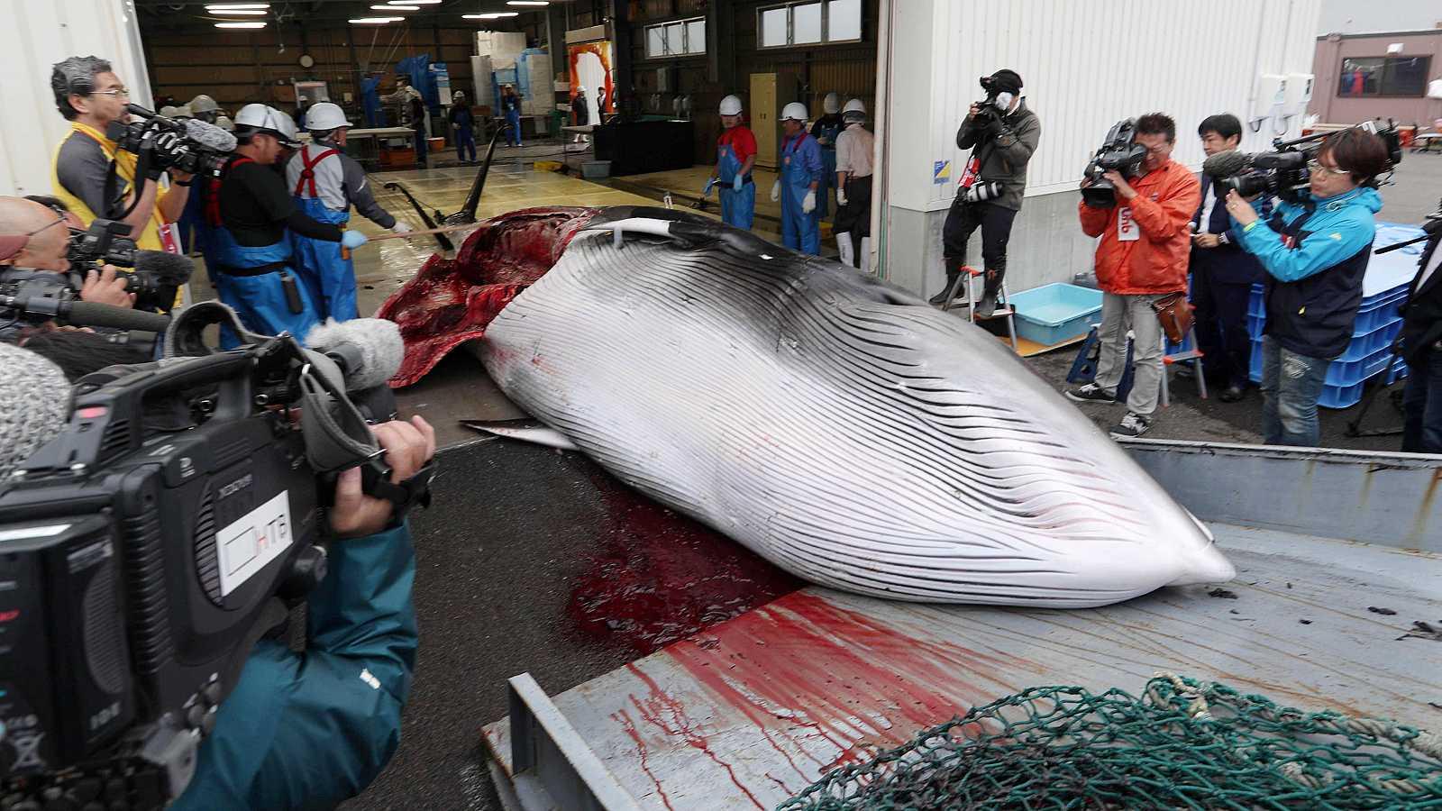 Japón vuelve a cazar ballenas más de tres décadas después en sus aguas territoriales
