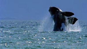 La ballena franca del sur
