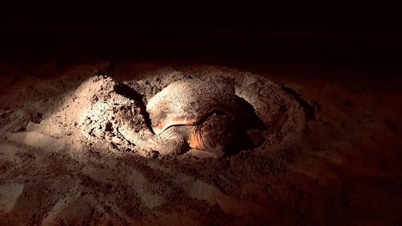 Dos tortugas bobas han desovado en playas de Ibiza en cinco días, algo excepcional que podría estar relacionado con el aumento de la temperatura del agua. Ahora, biólogos del centro de recuperación de fauna marina vigilan los huevos para protegerlos