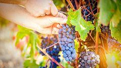 La mañana - ¿Cómo se recoge la uva? ¡Nos vamos a la vendimia!