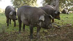 El sector del cerdo ibérico, pendiente de las lluvias