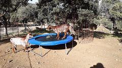 España Directo - Una granja 5 estrellas para cabras