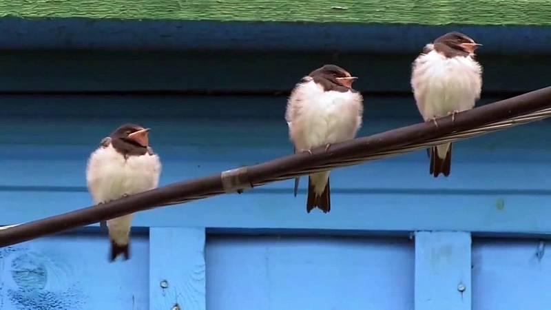 El escarabajo verde - Aves desahuciadas - ver ahora