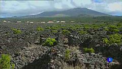 Aulaga - Criaçao Velha - Vinhas do Pico - Azores