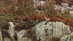 Jara y sedal - Los sarrios del Pedraforca