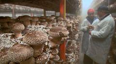 Aquí la Tierra - ¿Cómo se cultivan los hongos?