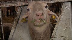 ALT - Forraje para las ovejas zamoranas