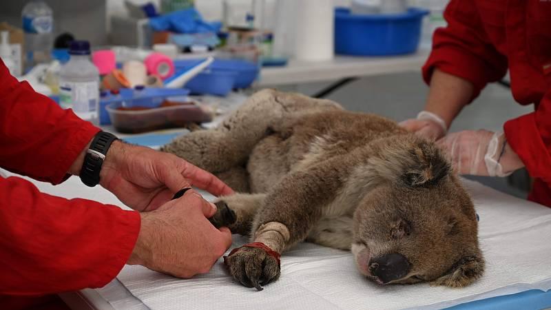 Decenas de koalas heridos en los incendios que asuelan Australia llegan a diario a un improvisado hospital para estos animales, en el parque natural de la Isla Canguro. Muchos de estos marsupiales requieren tratamiento tan urgente que los veterinario