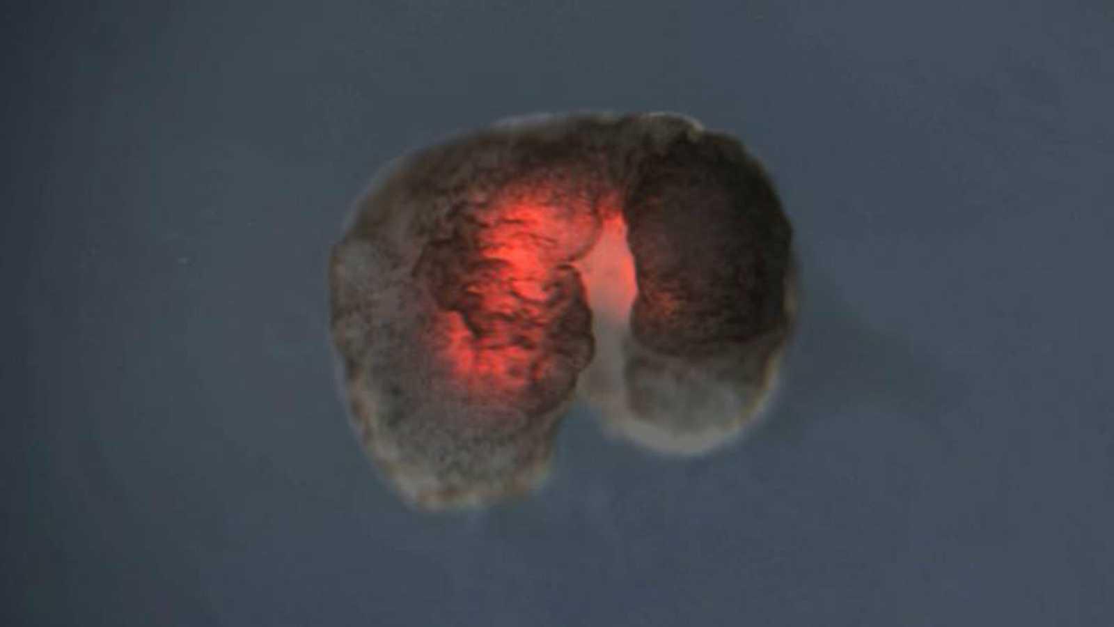 """Crean los 'xenobots', los """"robots vivientes"""" diseñados a partir de células madre de rana"""