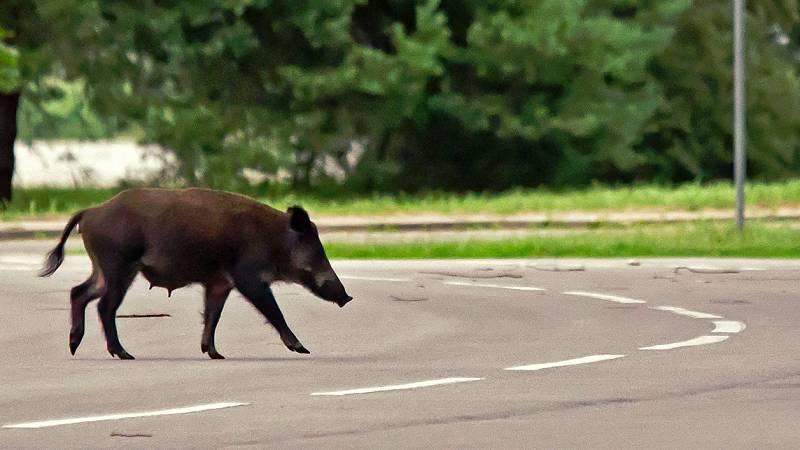 En la carretera M-30 de Madrid, muchos conductores se han encontrado un jabalí cruzando la mediana de esta carretera de circunvalación. Los coches tuvieron que hacer una pausa para no atropellar a este animal que cruzó seis carriles.