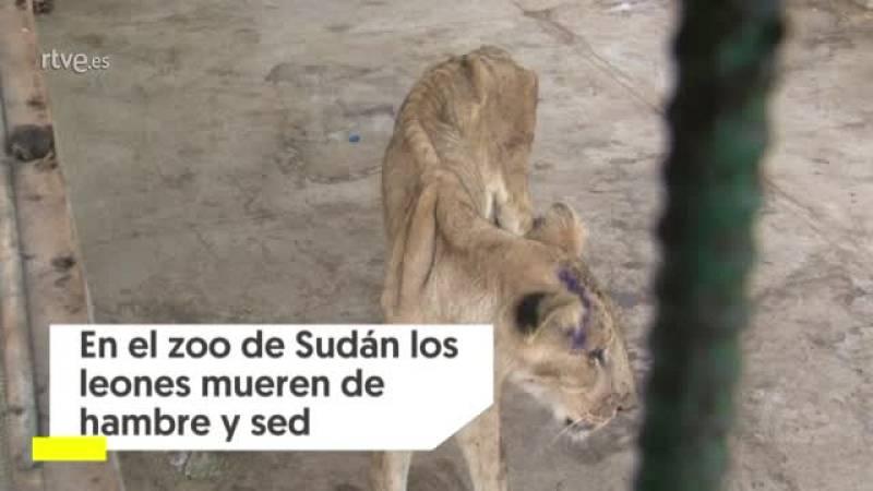 Los leones mueren de hambre y sed en el zoo de Sudán