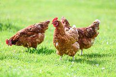 España Directo - Huevos ecológicos