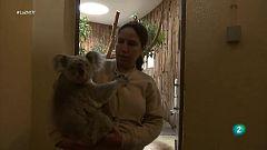 Nace un bebé koala en Lisboa