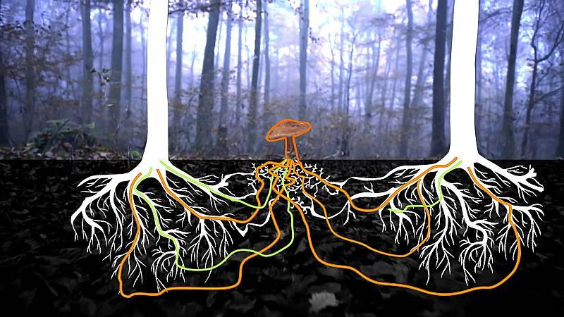 El escarabajo verde - La internet del bosque - ver ahora