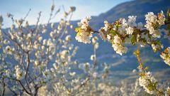 Los cerezos del Jerte florecen ante la ausencia de visitantes por el coronavirus