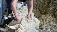 El coronavirus también golpea a la ganadería y provoca la escasez de esquiladores