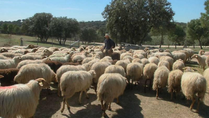 Los ganaderos piden al Gobierno una fórmula para permitir la llegada de esquiladores extranjeros a España