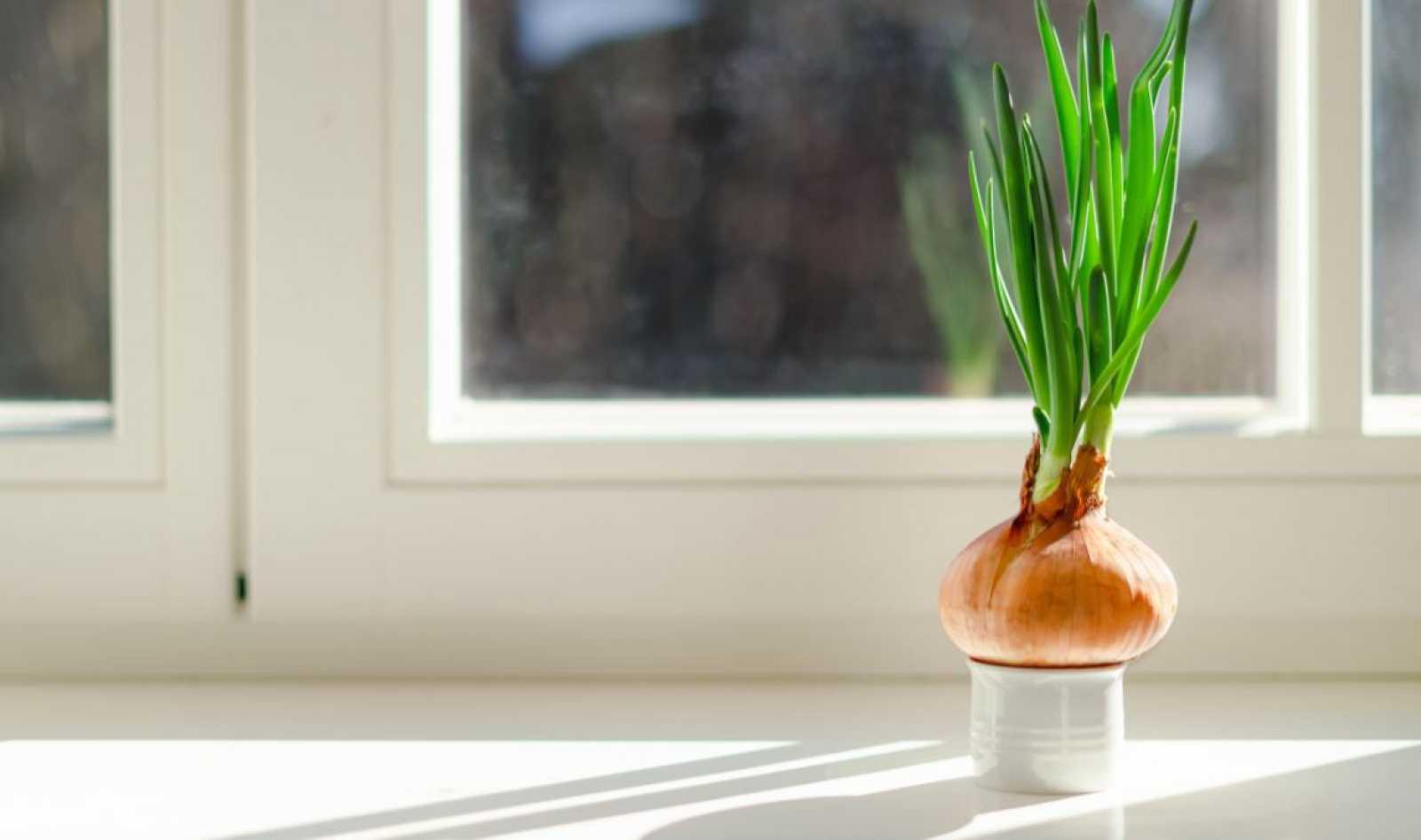 ¡Cultiva ajetes y cebolletas en casa sin tierra ni maceta!