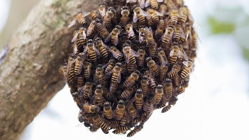 Los enjambres de abejas se multiplican por pueblos y ciudades durante el confinamiento por el coronavirus