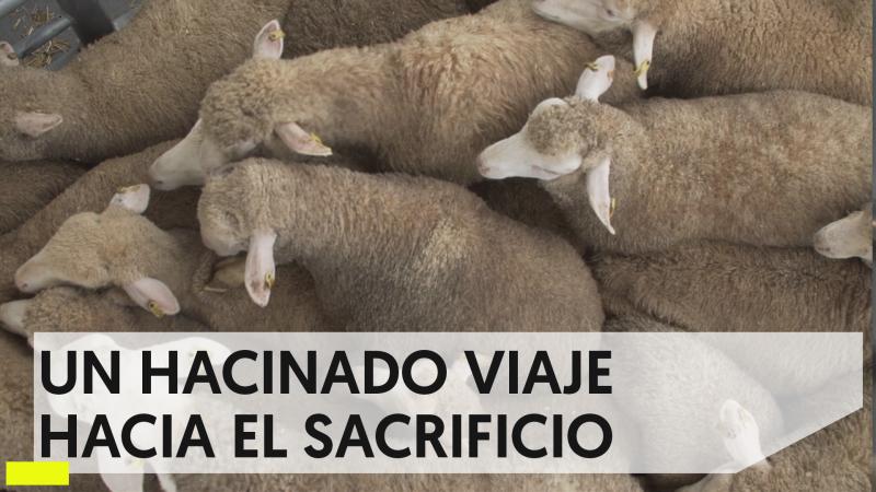 Igualdad Animal: el lado oscuro del transporte de animales vivos