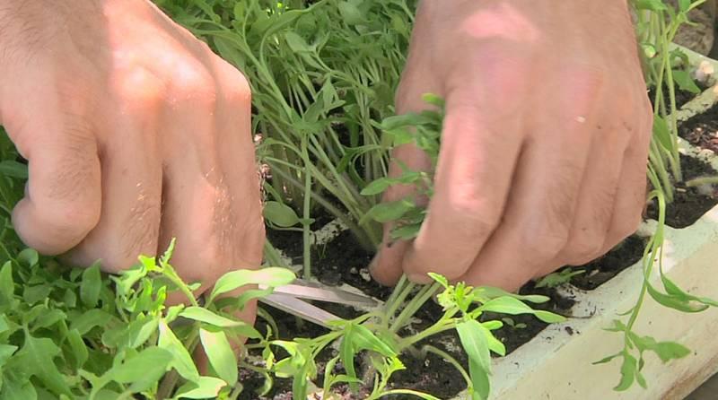 Los secretos de la siembra del tomate