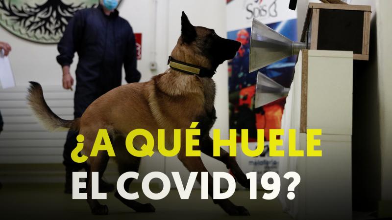 Coronavirus: Perros para rastrear el infectados de COVID-19