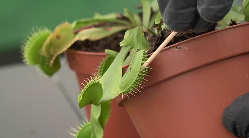 Cómo plantar plantas carnívoras