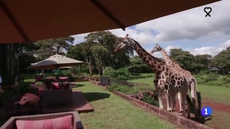 Las jirafas se adueñan de uno de los hoteles más famosos de Kenia, cerrado por el coronavirus