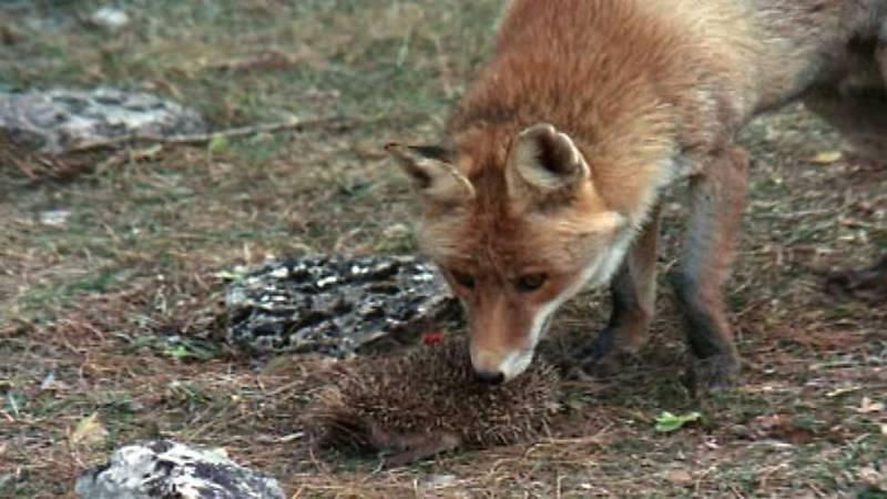 El hombre y la Tierra (Fauna Ibérica) - Los pequeños matadores, 1 - ver ahora