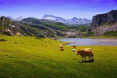 España Directo - El ganado pasta libre en lo alto de la montaña