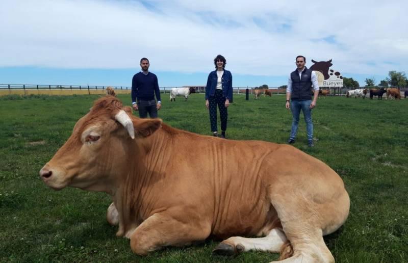 Pocholo, el buey más grande del mundo
