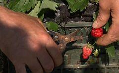 Aquí la tierra - ¿Quieres cultivar fresas en casa?