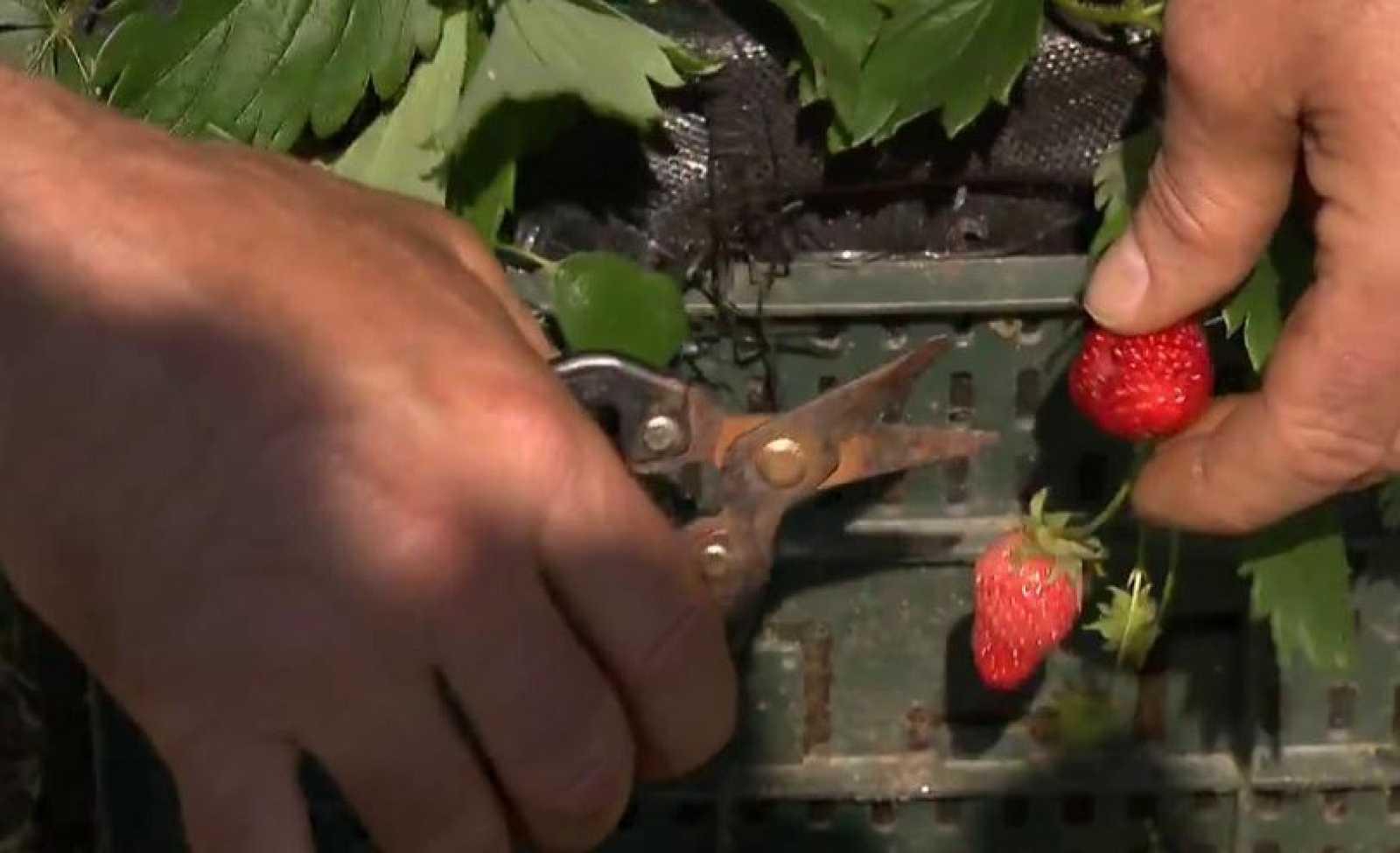 ¿Quieres cultivar fresas en casa?