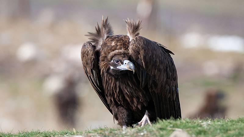 El hombre y la Tierra (Fauna Ibérica) - El buitre negro, 1 - ver ahora