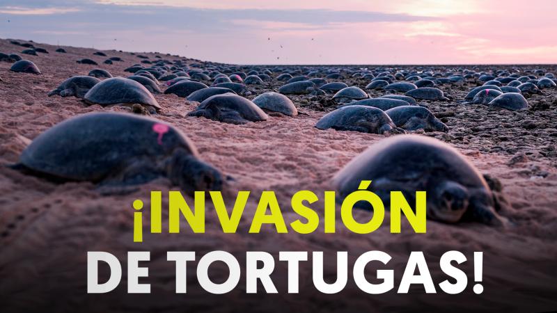 Tortuga Verde: decenas de miles de ejemplares desovan en Australia